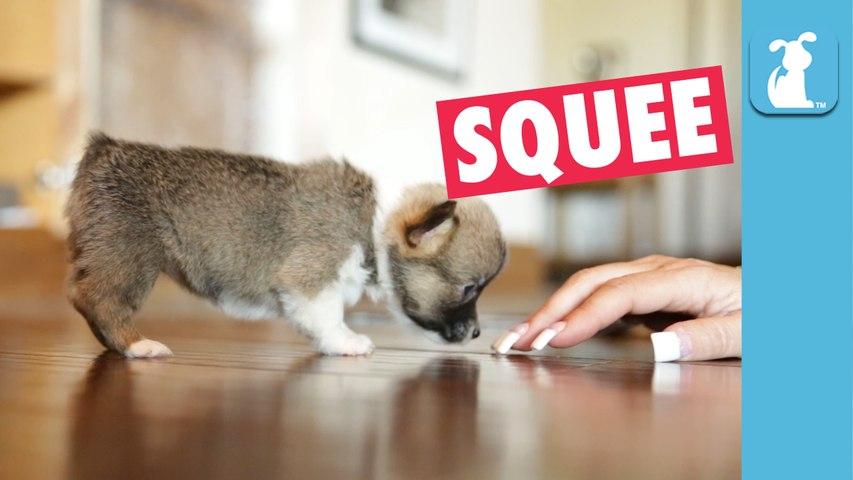 Mini Corgi Puppy Loves Long Finger Nails - Puppy Love