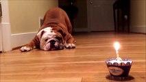 Un bulldog effrayé par son gateau et sa bougie d'anniversaire... hilarant