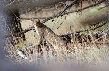 Chat sauvage dans les Pyrénées Orientales - Octobre 2015