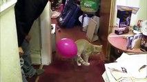 Chats et chiens contre des ballons. Les chats et les chiens drôles