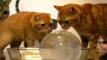 Chats et boule de glace. Chats drôles, chat et chatons avec boule de glace