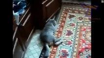 Chats se comporter bizarrement, après une visite chez le vétérinaire. funny cats