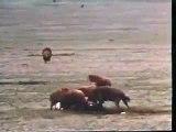 أربعة أسود تقتل أسد four male lions kill one lion