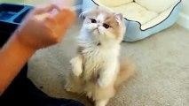 Gato Come Con Palos Chinos ★ humor gatos - video divertido gatos chistosos risa gato