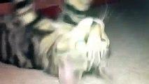 GATO CREE QUE ES EL HOMBRE ARAÑA, JAJA BUENISIMO - Video Humor Gatos - Gatos divertidos locos