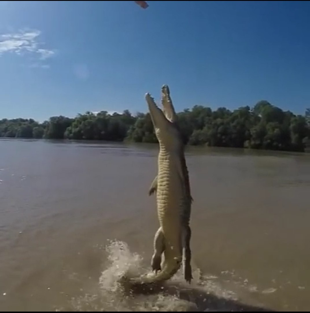 FLYING CROCODILE JUMPS OUT OF WATER - AWESOME !