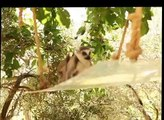 world of wildlife - Lemurs of Madagascar, Baby Ring-Tailed Lemurs