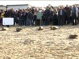 CALAIS - cinq jeunes phoques retrouvent leur liberté sur la plage