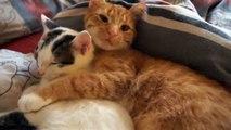 Ces deux chats sont les meilleurs copains du monde