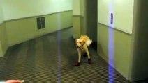 Dog Walks Stupid in Stupid Shoes