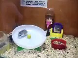 Circulation of hamsters. Fun with hamsters