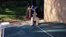 Ce chien joue au Ping pong mieux que beaucoup d'entre nous!