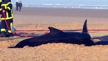 Ten pilot whales found beached in Calais