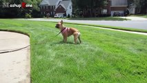 Top 10 Funny Bulldogs A Funny Bulldog Videos Compilation 2015