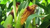 Une alternative aux OGM