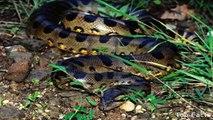Biggest Anaconda Snake In The World - Las serpientes más grandes del mundo