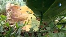 Conséquence de la sécheresse sur le chou à choucroute France 3 Alsace