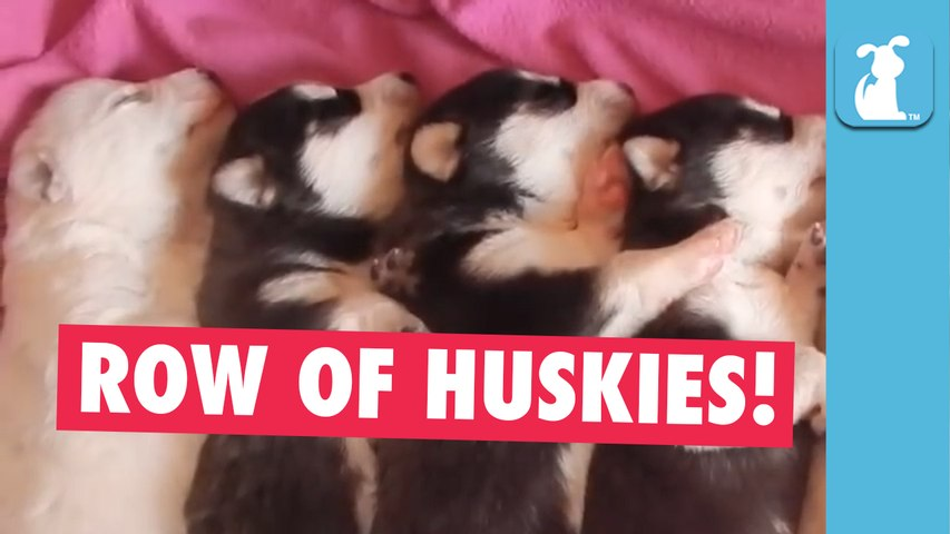 Adorable Row of Husky Puppies Snoozing