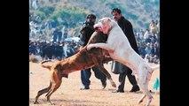 DOG FIGHTING POLICE CRACKDOWN