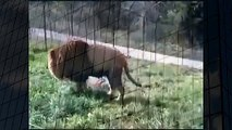 Lion Protecting Girl Best Wild Animal Videos   Animal Attacks And Loves when animals attack