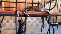 Kitten wants attention from Cat | Too Cute