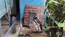 Ce pingouin rend visite à l'homme qui l'a sauvé chaque année pendant sa migration