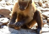Smart Capuchin Is Useful With Tools
