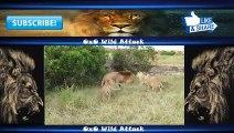 Animal Fights - Animal Wild Attack - Lion vs Tiger vs Buffalo vs Hyena - Best Animal Fights