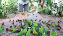 Muitos papagaios Lorikeet. Turistas alimentar o papagaio de Lorikeet