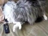 Maine Coon Katze und normal. Kampf mit dem Maine Coon Katzen