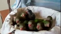 Baby parrots are excited to eat Look how cute they are!