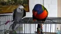 Perroquets très attentif. Deux perroquet drôle