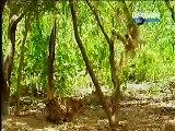 Monkey irritates Tigers - Funny Video