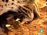 Leones vs Leopardos Animales Salvajes - Documentales Completos