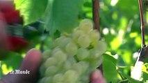 Climat : quand le réchauffement climatique a un impact sur la production de champagne