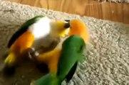 Parrots caiques sport. Funny parrots