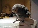 Papagaio cinzento em uma máquina de lavar. Papagaio engraçado saltos e batidas com seu bico