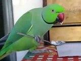 Papagaio come como um homem. Papagaio que come de uma colherPapagaio come como um homem. Papagaio que come de uma colher