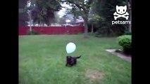 Cão e um balão. Cão engraçado que joga com balão