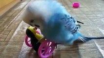 Parrot joue et communique avec un jouet. drôle perroquet