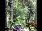 Orang outang et Thomas singes