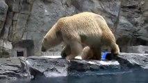 Une maman ours polaire vole au secours de son petit qui ne sait pas nager