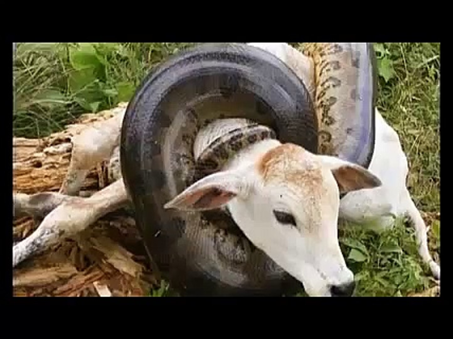 Anaconda snake eats cow