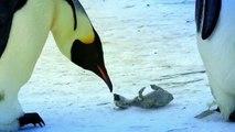 Пингвины тоже плачут