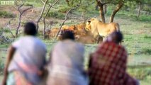 Man vs Lions. Maasai Men Stealing Lion's Food Without a Fight