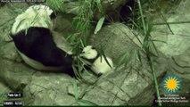 Les premiers pas de Bei Bei, le bébé panda du zoo de Washington
