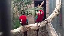 Papagaios dançando rap. Papagaios amo rap