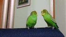 Perroquets parlent les uns aux autres. Deux perroquets parlent entre eux