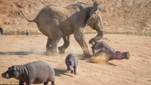 Elephant Vs. Hippo: Extreme Fight Video - Real Fight Video