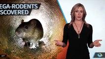 Des fossiles de rats géants retrouvés en Asie